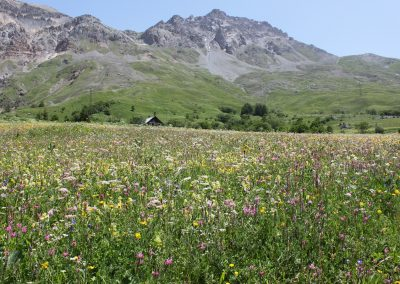 Wild flower meadow in the mountains